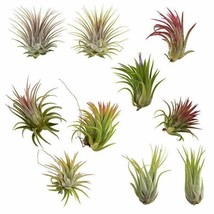 10 Pack Assorted Tillandsia Ionantha Color Changing Air Plants FREE SHIP... - $29.11