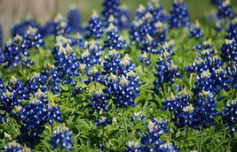Texas Bluebonnet Seeds, Heirloom Wildflower Seeds, Non-GMO, Blue Flowers, 75ct - $14.39