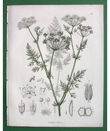 CARAWAY Carum carvi Medicinal Plant - COLOR Botanical Print - $17.22