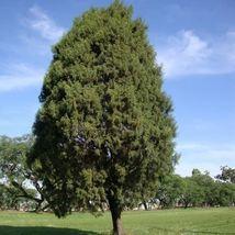 Cedar-of-Goa Tree Seeds (Cupressus lusitanica) 30 Seeds - $12.99