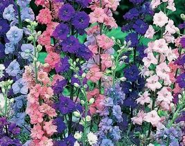 SHIPPED From US, ROCKET LARKSPUR 100 FRESH SEEDS FREE SHIPPING-SPM - $22.99