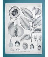BOTANY Cashew Nut - 1878 Antique Engraving Print - $17.96