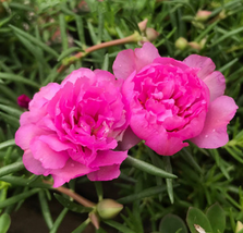 500pcs Very Exotic Pink Portulaca oleracea Purslane Double Flower Seeds ... - $16.99