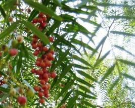 7 Peruvian Pepper Tree Seeds-1002 - $2.98