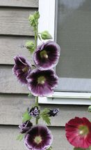 50 Purple White Hollyhock Seeds Perennial Giant Flower Garden Seed - TTS - $23.95