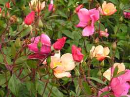 SHIP FROM US 25 Mixed Colors ANGEL WINGS MINIATURE ROSE Bush Mix Rosa Se... - $14.00