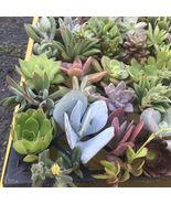 Succulent Mix Varieties Sedum Sempervivum Echeveria Stonecrop 50 Cutting... - $89.00
