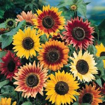 MAMMOTH sunflower AUTUMN BEAUTY 1 pound seeds - $48.99