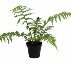 "6"" in Pot Australian Tree Fern  ""Cyathea cooperi"" Exotic - $60.60"