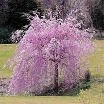 20pcs fontana rosa piangente semi di albero di ciliegio cortile giardino... - $6.81