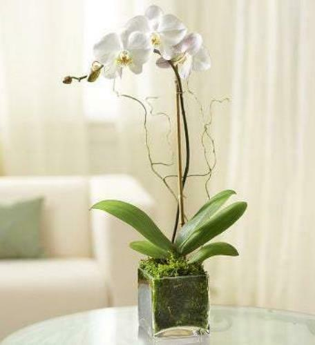 Primary image for Elegant Orchid - White