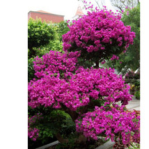 50 Seeds Real Blooming Plants Plants Sementes Flores Bougainvillea Spect... - $3.99