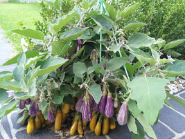 200pcs Very Yummy EdibleEggplant 'Fairy Tale' Purple Yellow Vegetable Seeds IMA1 - $13.99