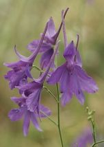 SHIPPED FROM US 1720 Rocket Larkspur Delphinium Consolida Mix Flower Seeds, GS04 - $13.00