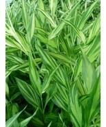 Veriagated Myogi  Myoga Mioga Japanese cooking ginger live plant free sh... - $22.75