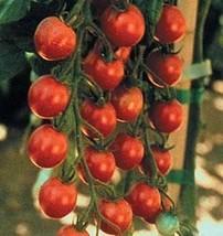 2000 Seeds of Sweet Milion FNT Hybrid - Tomatoes Fruited - $182.85