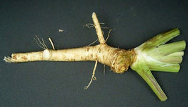 Very Old Variety of a Hierloom Horseradish Roots for planting or Pesach - $14.25