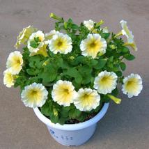 200pcs Very Admirable Genuine Heirloow Yellow Petunia Flower Seeds IMA1 - $14.99