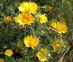 Cladanthus Palm Springs Daisy 100 Seeds - $4.94
