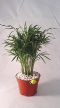"""Victorian Parlor Palm - Chamaedorea - With rock 4"""" Pot - Live Plant  - $15.99"""