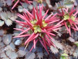25 Seeds Acaena Microphylla For Home Garden - $11.89