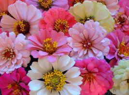 Non GMO | Baby Girl Mix Zinnia Heirloom Flower | 75 Seeds - $8.99