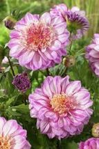 Dahlias Powder Puff 'Brindisi'( Tuber ) Giant Flowers Great Cut Flowers  - $20.00