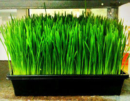 SHIPPED FROM US 480 Wheatgrass Wheat/Cat Grass Sprouts Seeds, GS04 - $17.00