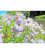 SHIPPED FROM US 200+SMOOTH BLUE ASTER Fall Blooms Butterflies Seeds, CB08 - $17.00