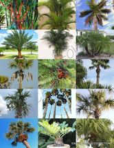 SHIPPED From US_PALM TREE MIX rare palms fan-florida areca hardy-10 seed... - $52.99