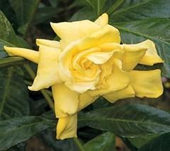 Golden Magic Gardenia  cape jasmine  - Live Plant - 4 Inch Pot - €17,59 EUR