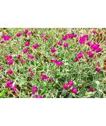 Rose Campion Flower Seeds Lambs Ear Magenta Pink Wildflowers Lychnis cor... - $7.99