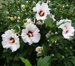 SHIP FROM US 2 Hardy Hibiscus White Rose of Sharon Rooted Live Plant, PG10 - $85.49