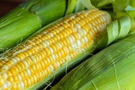 Corn Peaches n Cream Non GMO Hybrid Garden Vegetable Seeds Sow No GMO® USA - $5.93+