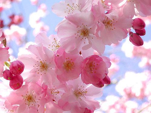 Heirloom 25 Seeds Cherry Tree Shrub Seeds cherry-tree Edible Fruit Seeds image 3