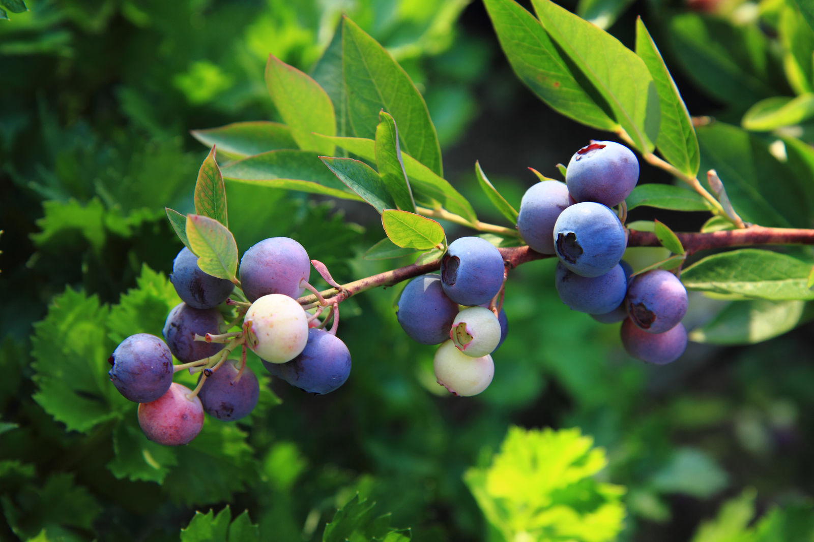 5 NELSON NORTHERN HIGHBUSH BLUEBERRY PLANTS, 2 YEAR OLD, 1 GALLON SIZED PLANT