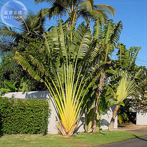 Only 1 Seed Travellers Palm (Ravenala madagascariensis) Seed, tropical h... - $6.95