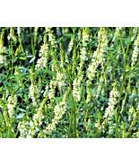 1500 seeds - White Blossom Sweet Clover Melilotus Alba Albus Honey Clove... - $17.99