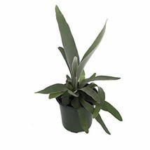 "Plant French Staghorn Fern - Platycerium lemoinei - 4"" Pot Indoor Housep... - $18.49"