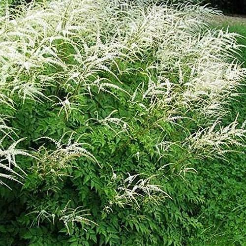 Primary image for 800 Seeds Aruncus Noble Spirits Seeds (Aethusifolius Noble Spirits) TkThesun