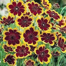 SHIP FROM US 100 Cosmidium Seeds - Brunette - , WB Flowers Seeds - $27.99