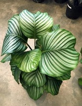 ORBIFOLIA CALATHEA decorative indoor plant  1 rhizome - $34.65