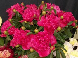 Red Flower  General MacMahon Peony 3-5 Eye Established 1 Plant 1 Gallon Pot - $55.99