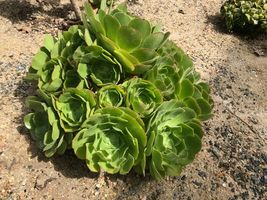 "4,6,8"" Rosette - Aeonium Blushing Beauty Rosette Cuttings #LRNG12 - $19.99+"
