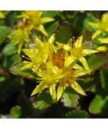 1 Packet of 100 Seeds Sedum Aizoon Succulent/Crassulaceae / Sedum Aizoon - $17.62