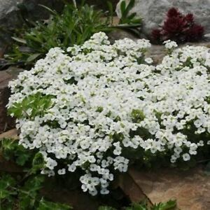 Primary image for SHIP FROM USA Alpine Rockcress Flower Seeds (Arabis Alpina) 200+Seeds UDS
