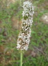 1000 Pcs Seeds Dalea Candida White Prairie Clover Flower - DL - $14.00