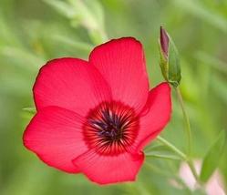 2 Variety Very Wonderful Fresh Seeds Linum Scarlet Flax #TLM1 - $21.99+