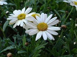1 Pound Seeds of OxEye Daisy - $350.36