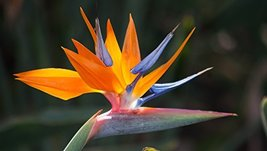 HAWAIIAN Bird of Paradise---10 seeds---Comes with the Hawaii Seal of Quality - $17.70